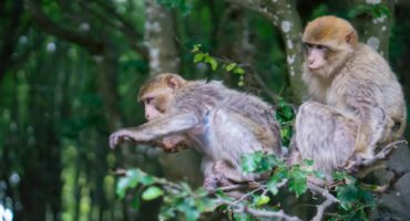 Two,Barbary,Macaque,On,Tree,Looking,At,Something,Below,Them
