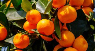 mandarine-2©Shutterstock